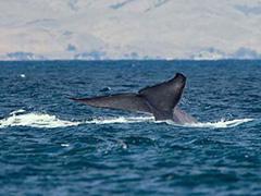 whale-wax
