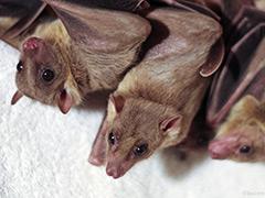 Bats-death