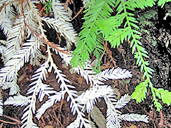 chimeric-albino-redwood