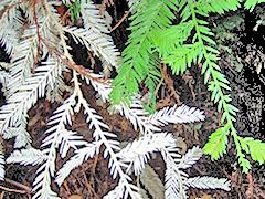 chimeric-albino-redwood