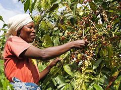 coffee-crops